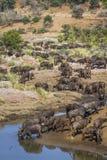 Африканский буйвол в национальном парке Kruger, Южной Африке стоковое изображение rf