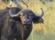 Африканский буйвол с redbilled oxpecker на его задняя часть смотря к телезрителю в свете вечера стоковое фото