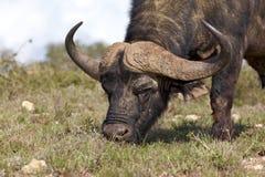 африканский буйвол Стоковое Изображение