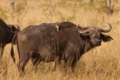 африканский буйвол Стоковая Фотография RF