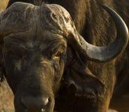африканский буйвол Стоковые Изображения