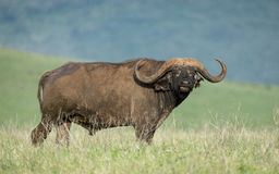 Африканский буйвол в кратере Ngorongoro, Танзания Стоковое Фото