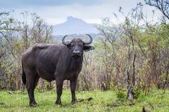 Африканский буйвол в национальном парке Kruger, Южной Африке Стоковые Фото