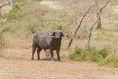Африканский буйвол в Serengeti Стоковое фото RF