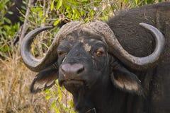 Африканский буйвол или буйвол накидки (caffer Syncerus) Стоковые Фото