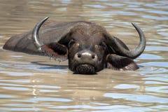 Африканский буйвол или буйвол накидки (caffer Syncerus) Стоковое Изображение