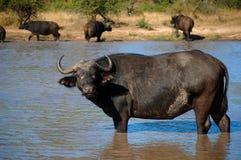 Африканский буйвол или буйвол накидки (caffer Syncerus) Стоковое Изображение RF