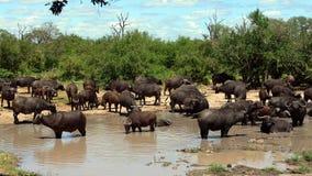 Африканский буйвол или буйвол накидки (caffer Syncerus) Стоковые Фотографии RF