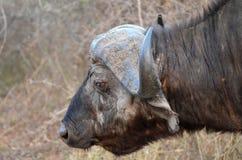 Африканский буйвол или буйвол накидки (caffer Syncerus) Стоковое фото RF