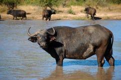 Африканский буйвол или буйвол накидки (caffer Syncerus) Стоковая Фотография RF