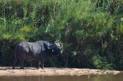 Африканский буйвол или буйвол накидки (caffer Syncerus) Стоковое Фото