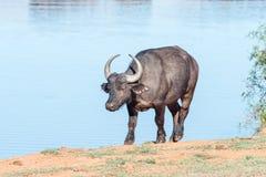 Африканский буйвол на запруде Стоковые Изображения
