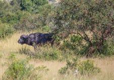 Африканский буйвол на национальном парке Kruger Стоковые Фото