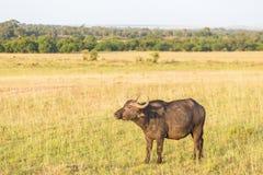 Африканский буйвол на саванне Стоковое Фото