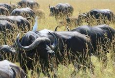 Африканский буйвол с белым egret Стоковое Изображение