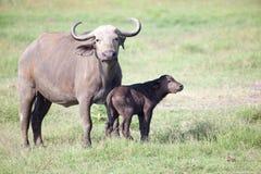 Африканский буйвол с икрой Стоковая Фотография RF