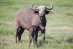 Африканский буйвол с икрой Стоковые Изображения RF