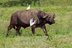Африканский буйвол с egrets Стоковая Фотография RF