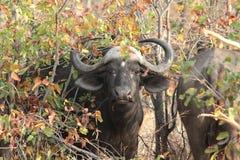 Африканский буйвол Стоковые Изображения RF
