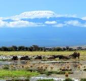 Африканский буйвол Стоковые Фотографии RF