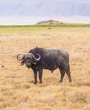 Африканский буйвол Стоковое Изображение RF