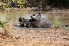 Африканский буйвол Стоковое фото RF