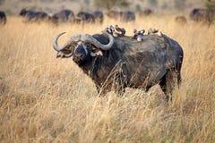 Африканский буйвол (caffer Syncerus) Стоковые Изображения