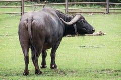 Африканский буйвол (caffer Syncerus) Стоковое Изображение RF
