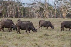 Африканский буйвол - caffer syncerus Стоковые Изображения RF