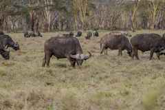 Африканский буйвол - caffer syncerus Стоковая Фотография