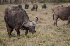 Африканский буйвол - caffer syncerus Стоковые Изображения