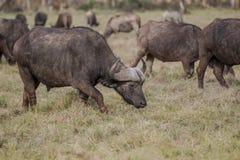 Африканский буйвол - caffer syncerus Стоковое Фото