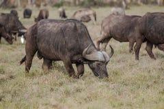 Африканский буйвол - caffer syncerus Стоковая Фотография RF