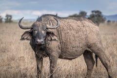 Африканский буйвол - caffer syncerus Стоковое Изображение