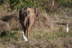 Африканский буйвол - caffer syncerus Стоковые Фотографии RF