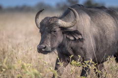 Африканский буйвол - caffer syncerus Стоковое фото RF