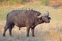 африканский бык буйвола Стоковые Изображения
