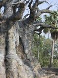 африканский вал баобаба Стоковое Изображение