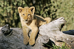 африканский вектор льва иллюстрации одичалый Стоковые Фотографии RF