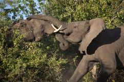 африканский воевать слонов Ботсваны Стоковое Фото