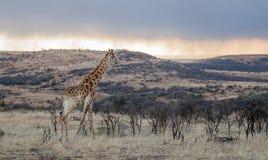Африканский восход солнца захода солнца жирафа Стоковое Фото