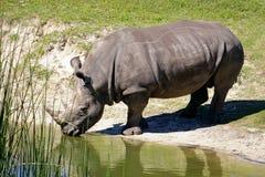 африканский выпивая носорог Стоковое Изображение