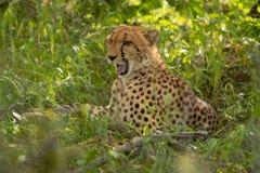 Африканский гепард, национальный парк Mara Masai, Кения, Африка Кот в среду обитания природы Приветствие jubatus Acinonyx котов Стоковое фото RF