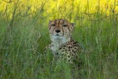 Африканский гепард, национальный парк Mara Masai, Кения, Африка Кот в среду обитания природы Приветствие jubatus Acinonyx котов Стоковая Фотография RF