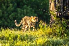 Африканский гепард, национальный парк Mara Masai, Кения, Африка Кот в среду обитания природы Приветствие jubatus Acinonyx котов Стоковые Фотографии RF