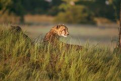 Африканский гепард, национальный парк Mara Masai, Кения, Африка Кот в среду обитания природы Приветствие jubatus Acinonyx котов Стоковые Изображения