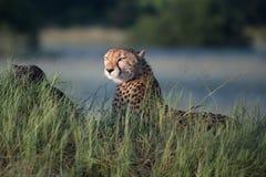 Африканский гепард, национальный парк Mara Masai, Кения, Африка Кот в среду обитания природы Приветствие jubatus Acinonyx котов Стоковое Изображение RF