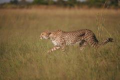 Африканский гепард, национальный парк Mara Masai, Кения, Африка Кот в среду обитания природы Приветствие jubatus Acinonyx котов Стоковое Изображение