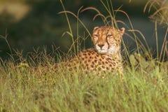 Африканский гепард, национальный парк Mara Masai, Кения, Африка Кот в среду обитания природы Приветствие jubatus Acinonyx котов Стоковое Фото
