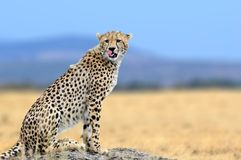 Африканский гепард, национальный парк Mara Masai, Кения, Африка Стоковые Фото